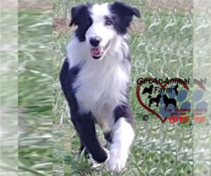 Mother of the Australian Shepherd puppies born on 06/05/2021