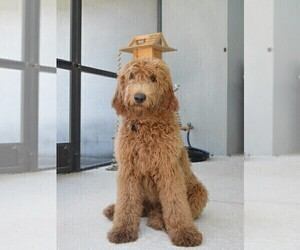 Mother of the Goldendoodle puppies born on 04/28/2020