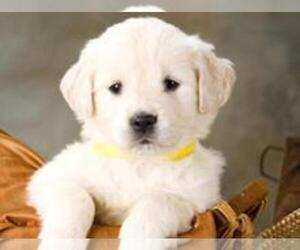 English Cream Golden Retriever Puppy for Sale in STOCKBRIDGE, Georgia USA