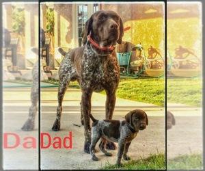 Father of the German Shorthaired Pointer puppies born on 05/05/2019