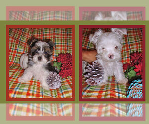 Yorkshire Terrier Puppy for sale in DELTONA, FL, USA