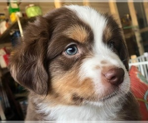 Miniature American Shepherd Puppy for Sale in HOLLY HILL, South Carolina USA