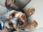 Yorkshire Terrier Puppy For Sale in WILMINGTON, Delaware,