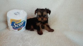 Yorkshire Terrier Puppy for sale in WHITTIER, CA, USA