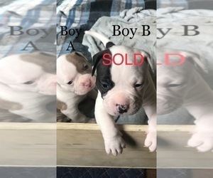 American Bulldog Puppy for Sale in OXNARD, California USA