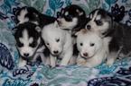 Siberian Husky Puppy For Sale in JACKSONVILLE, FL, USA