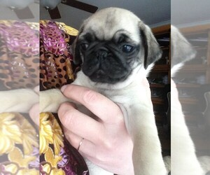 Pug Puppy for sale in VAN NUYS, CA, USA