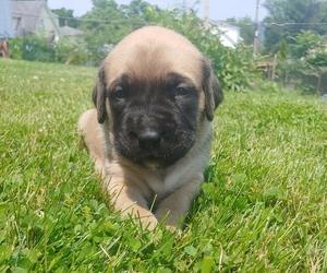 Mastiff Puppy for Sale in BROWNSVILLE, Pennsylvania USA