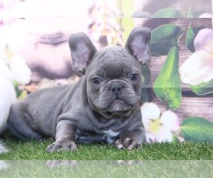American French Bull Terrier Puppy for Sale in MARIETTA, Georgia USA