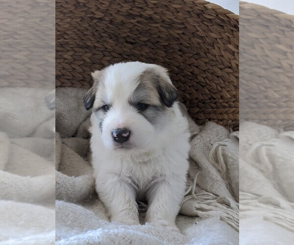 Medium Photo #59 Great Pyrenees Puppy For Sale in FALCON, CO, USA
