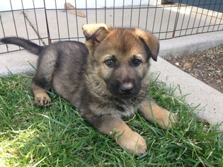 German Shepherd Dog Puppy For Sale in ESCONDIDO, CA, USA