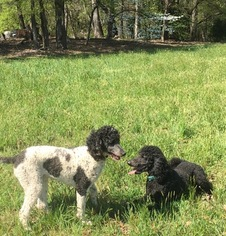 Mother of the Poodle (Standard) puppies born on 01/13/2017