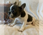 Small #5 French Bulldog