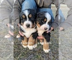 Small #9 Bernese Mountain Dog