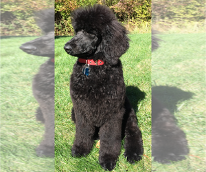 Poodle (Standard) Puppy for sale in SEWICKLEY, PA, USA