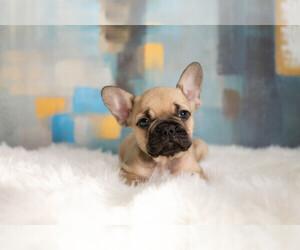 French Bulldog Puppy for sale in OKEMAH, OK, USA