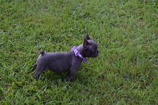 French Bulldog Puppy For Sale near 29655, Iva, SC, USA