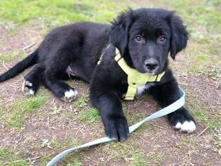 Border Collie-Golden Retriever Mix Puppy for sale in DALLAS, OR, USA