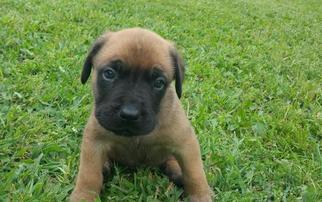 Cane Corso-Mastiff Mix Puppy For Sale in WATERTOWN, WI, USA