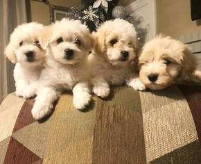 View Ad: Maltese-Poodle (Toy) Mix Puppy for Sale near