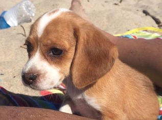 Beagle Puppy For Sale in MOUNTAIN VIEW, CA
