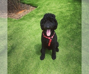 Poodle (Standard) Puppy for sale in CHARLOTTE, NC, USA