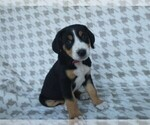Puppy 7 Greater Swiss Mountain Dog