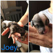 Dachshund Puppy For Sale in PERU, Illinois,