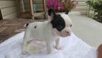 French Bulldog Puppy For Sale in FARMINGTON, MO,
