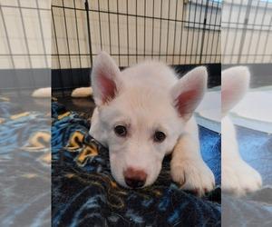 Siberian Husky Puppy for Sale in ILION, New York USA