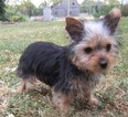 Yorkshire Terrier Puppy For Sale in STANTON, MO, USA