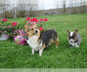 Mother of the Pembroke Welsh Corgi puppies born on 01/13/2021
