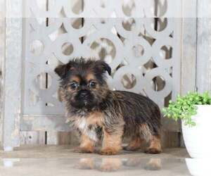 Shorkie Tzu Puppy for Sale in MOUNT VERNON, Ohio USA
