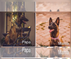 Father of the Belgian Malinois puppies born on 07/06/2019