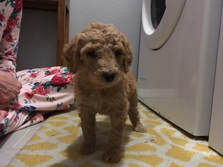 Goldendoodle Puppy For Sale in LITTLETON, CO, USA