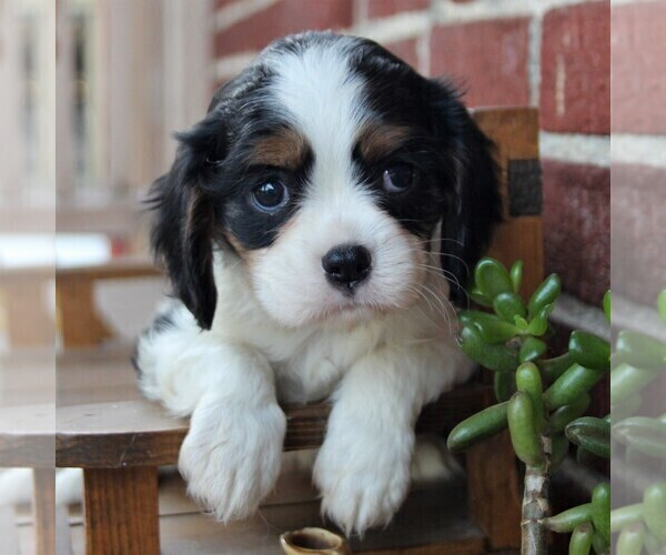 Medium Photo #3 Cavalier King Charles Spaniel Puppy For Sale in LANCASTER, PA, USA