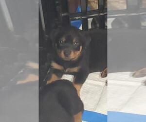 Rottweiler Puppy for sale in PASADENA, TX, USA