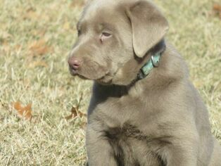 Labrador Retriever Puppy For Sale in ALBANY, MO, USA