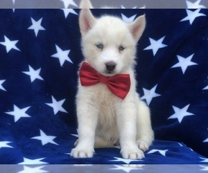 Siberian Husky Puppy for sale in CEDAR LANE, PA, USA