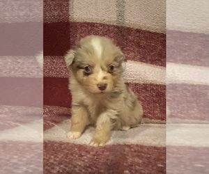 Australian Shepherd Puppy for sale in EXETER, MO, USA