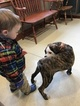 Bulldog Puppy For Sale in BARRINGTON, NH,
