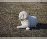 Small #11 Great Pyrenees-Tibetan Mastiff Mix