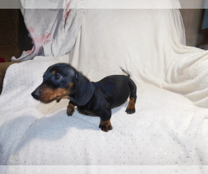Dachshund Puppy for sale in WATTS, OK, USA