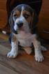Small Photo #6 Beagle Puppy For Sale in REASNOR, IA, USA