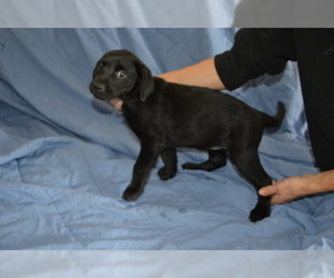 Labrador Retriever Puppy for sale in CORDILLERA, CO, USA