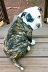 UKC American Pitt Bull Terriers York Bloodlines
