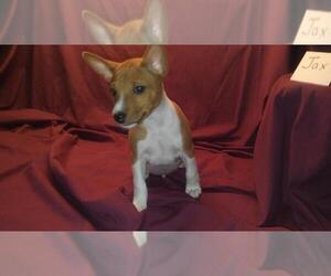 Basenji Puppy for sale in PASADENA, TX, USA