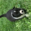 Border Collie Puppy For Sale in LENHARTSVILLE, PA,