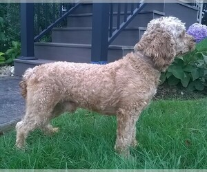 Father of the Labradoodle-Poodle (Miniature) Mix puppies born on 09/02/2020