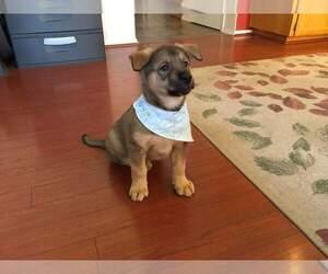 German Shepherd Dog-Husky Mix Puppy for sale in HILLSBORO, OR, USA